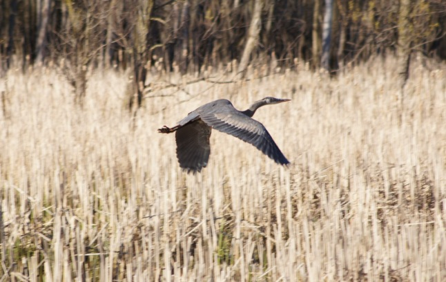 The great blue heron that flew over us