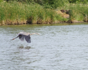 heron-flying-mcdw120630-76361.jpg