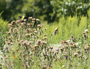 Goldfinches in thistle