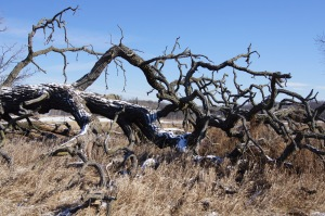 One can only see the true texture of a tree in winter or death
