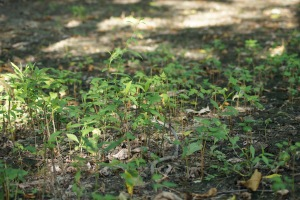 An assortment of seedlings, taking advantage of open space