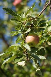 Nice apples!