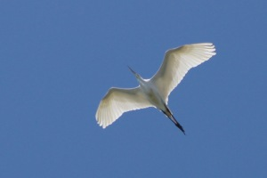 Right when we started, this egret flew over