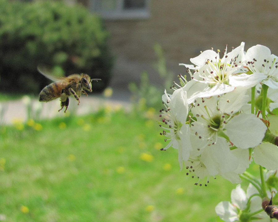 Bee GURN110510 IMG_0673