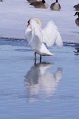 Mute swan, Independence Grove, Libertyville