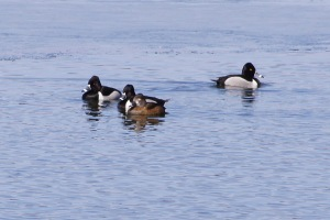 Lesser scaups (I guess, can't really tell)