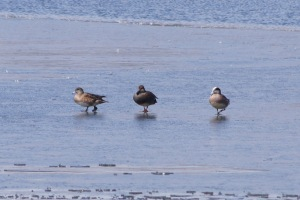American widgeons, and a gadwall? between them