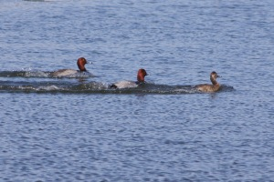 Redhead males and female