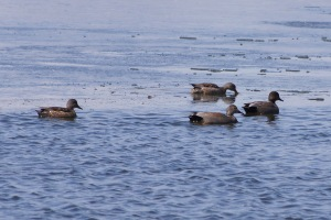 Gadwall males and females