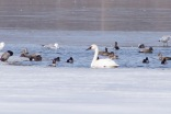 Trumpeter swan, Independence Grove, Libertyville