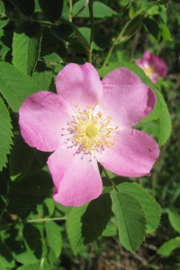Wild rose grows, well, wild along the trail.
