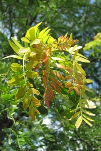 My locust tree sprouts new growth in multi-colored bunches