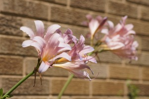 I think these might be called surprise lilies, but around here, they're known as space lilies!