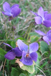 I have several large patches of wild violets in my backyard. Lovely!