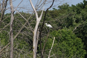 When we got closest, this was the last egret in the tree