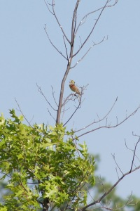 Not sure, but I think this is a dickcissel singing.