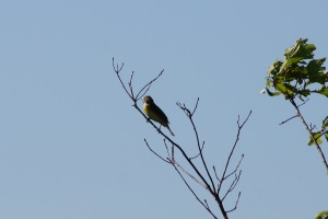 This could be a dickcissel, too.