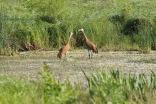 Sandhill cranes, Rollins Savanna, Round Lake Beach