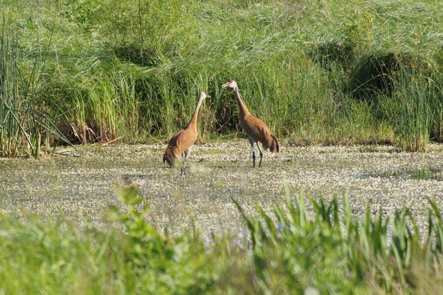 Sandhill Cranes!