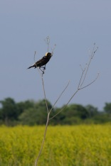 Bobolink, Rollins Savanna, Round Lake Beach