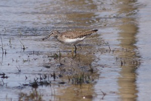 A solitary sandpiper being, well, solitary