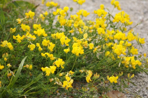 A portion of the path was lined with these wildflowers. Does anyone know what they are?
