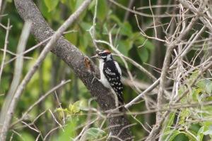 A hairy woodpecker! Sweet!