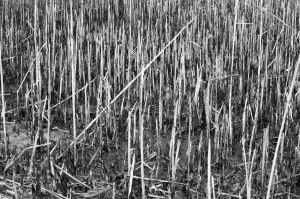 This shot of the cattails looks better in black and white, but I'm still not entirely thrilled with it.