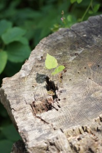 I just loved that this little seedling was starting in the stump!  $