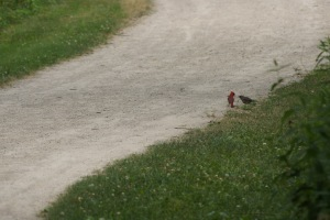 Don't normally see a cardinal feeding its young, so cool that!