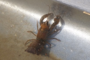 A crayfish couldn't seem to figure out the drainpipe opening - it kept trying to climb up the curved sides