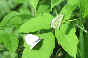 Cabbage whites (I guess)