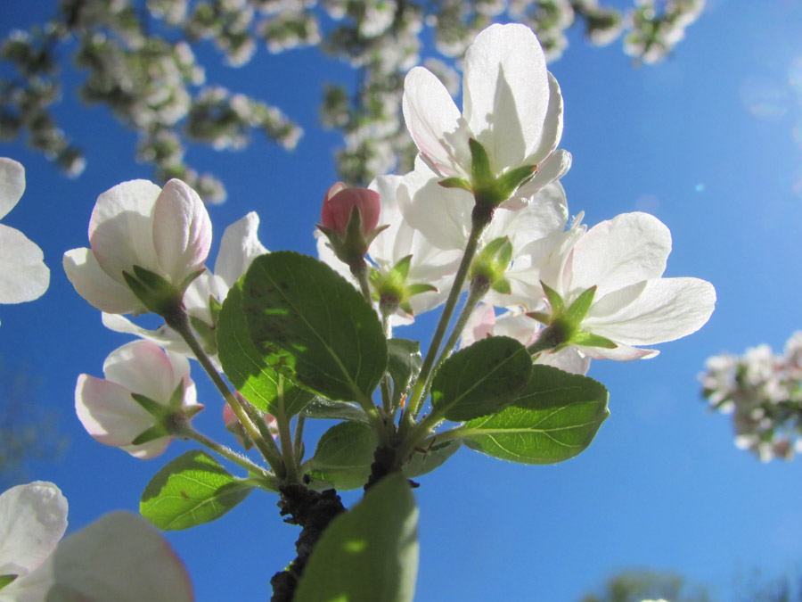 Yet more crabapple blossoms