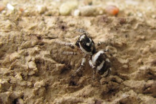 A zebra jumping spider, he led me all around the wall, trying to keep him in focus.