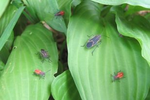 I'm not sure, but I think the red ones are larval forms of the adult box elders. They seemed to be nurturing them.
