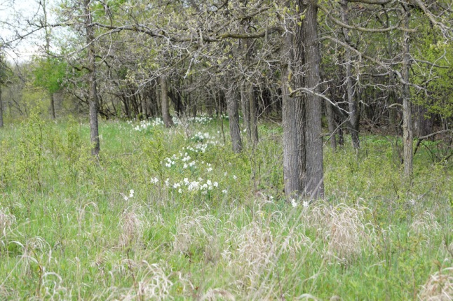 Wild patches of the jonquils throughout the trees on this ridge.