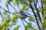 Bluejay, Cuba Marsh, Barrington
