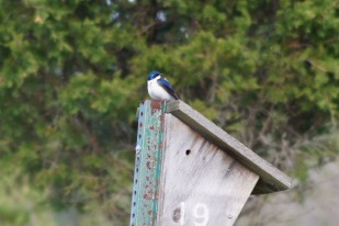 Tree Swallow-Let me get pretty close for this shot