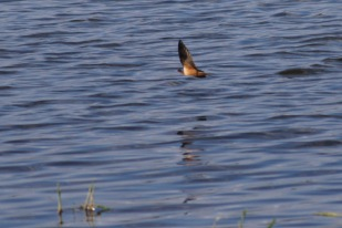 Chimney swallow, Cuba Marsh, Barrington