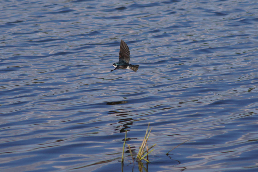 Tree Swallow-Cool shot, with the reflection too