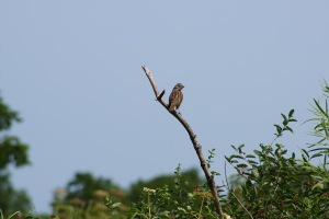 Song sparrows always look disheveled to me, feathers all out of whack