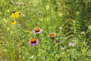 Oxeye daisies, bee balm, and others