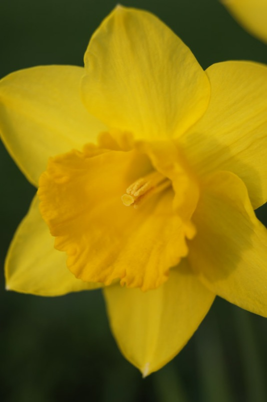 One of my daffodils this past spring