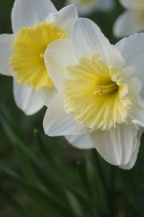 daffodils 7