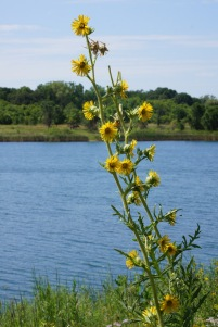 A compass plant, something I found out later