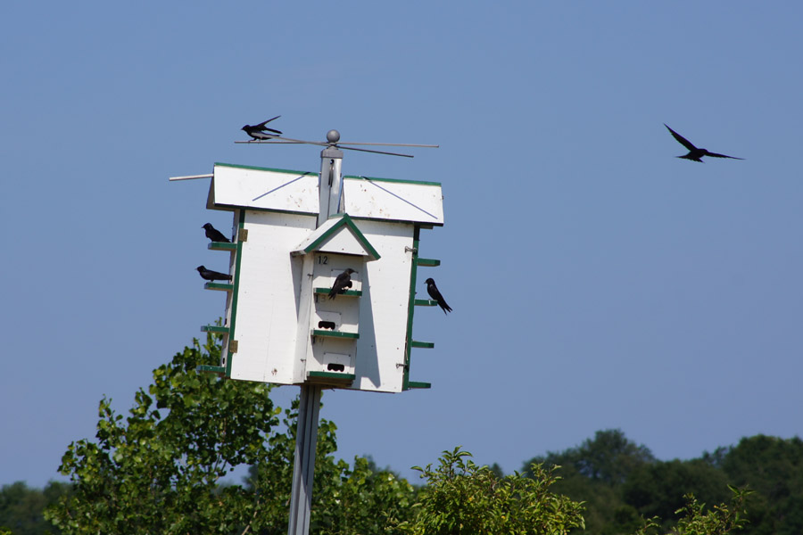 This was the first full purple martin house I'd seen