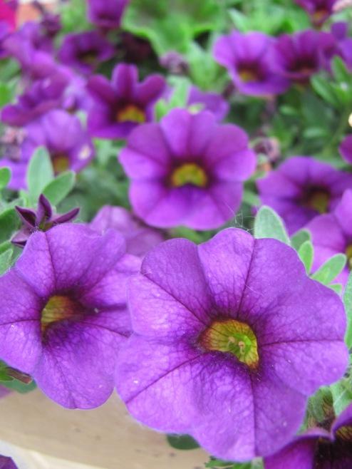 purple 130612-IMG_4477