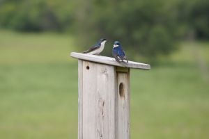 tree swallows 1