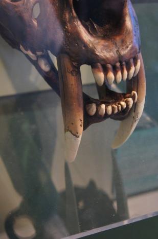 A sabre cat skull