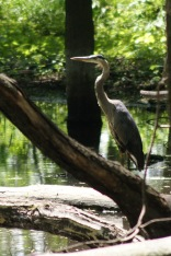 Great blue heron, Des Plaines River Trail, Gurnee